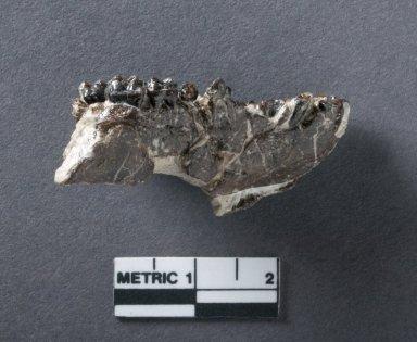 Hyopsodus palate, rotated side view