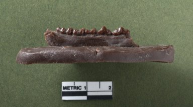 Diacodexus secans jaw, side view