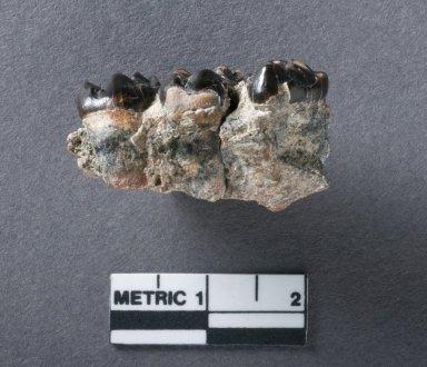 Phenacodus Primaevus jaw, side view