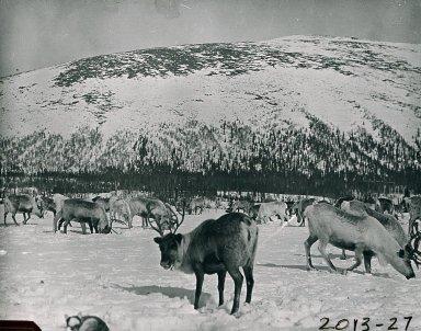 Caribou or reindeer