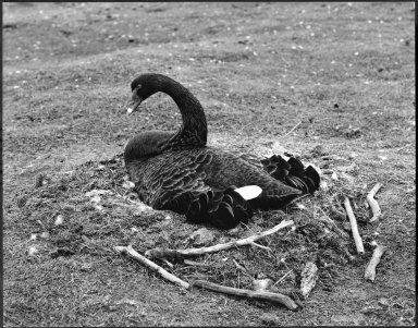 Black Swan, Cygnus atratus