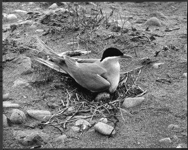 Black Fronted Tern, Chlidonias albostriatus