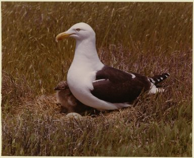 Black Backed Gull, Larus dominicanus