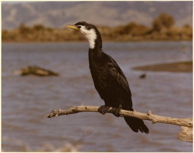Little Shag, Phalacrocorax melanoleucos