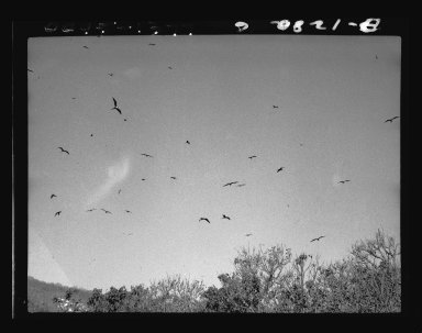 Magnificent Frigatebirds at nest