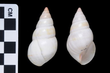 Liguus fasciatus (f) roseatus
