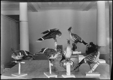 Hoatzin taxidermy mounts