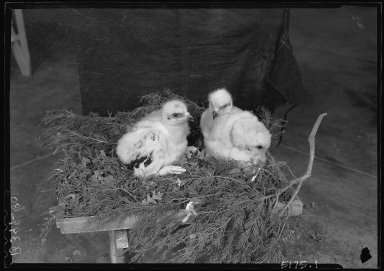 Golden eagle downy chicks