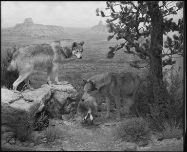 Southern Rocky Mountain Wolf group