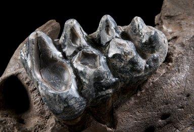 Snowmastodon Specimen, Mastodon Teeth