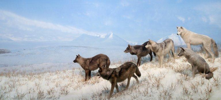Alaskan Wolves Diorama