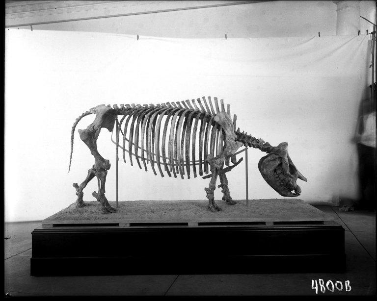 Fossil Rhinoceros