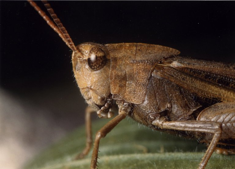 Close up of thorax and head of grasshopper