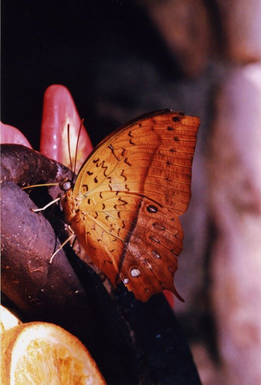 Close up of orange butterfly on banana