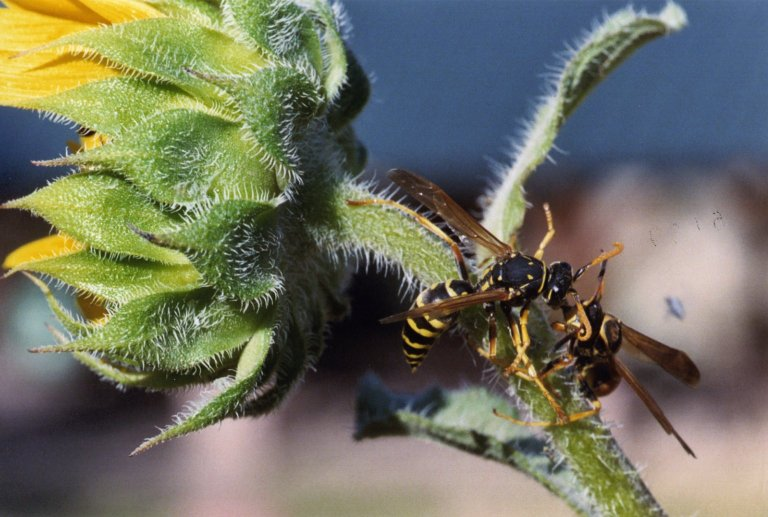 Close up of two wasps on sunflower stalk