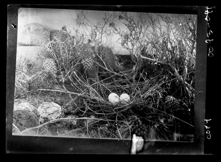 Nest and eggs among cacti in the western USA.