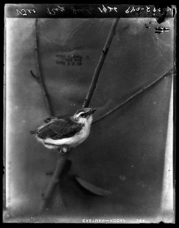 Vireo near Rye, Colorado in July of 1926.