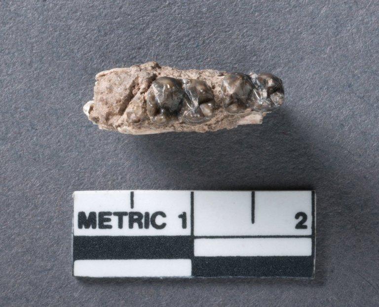 Antiacodon vanvaleni mandible, rotated view
