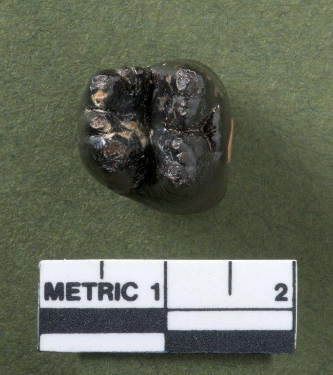 Stylinodon teeth, rotated view