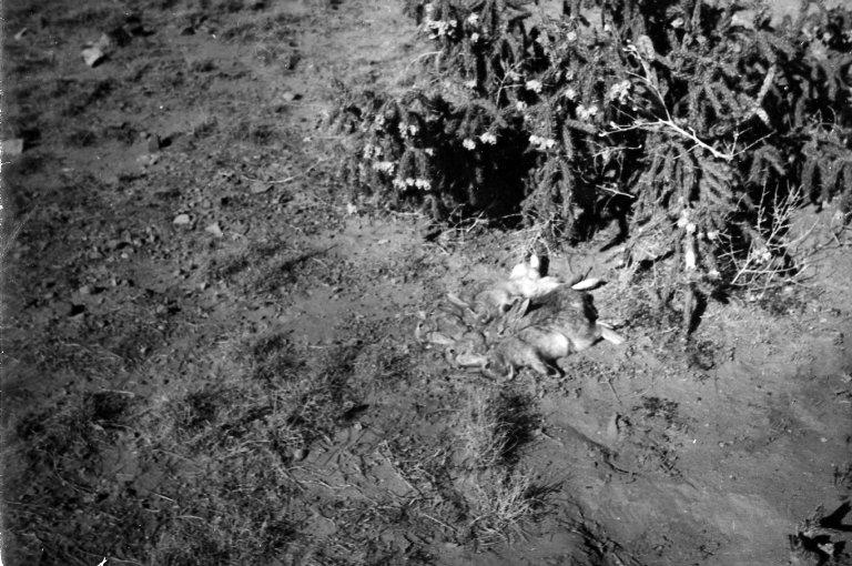 Rabbit Carcasses