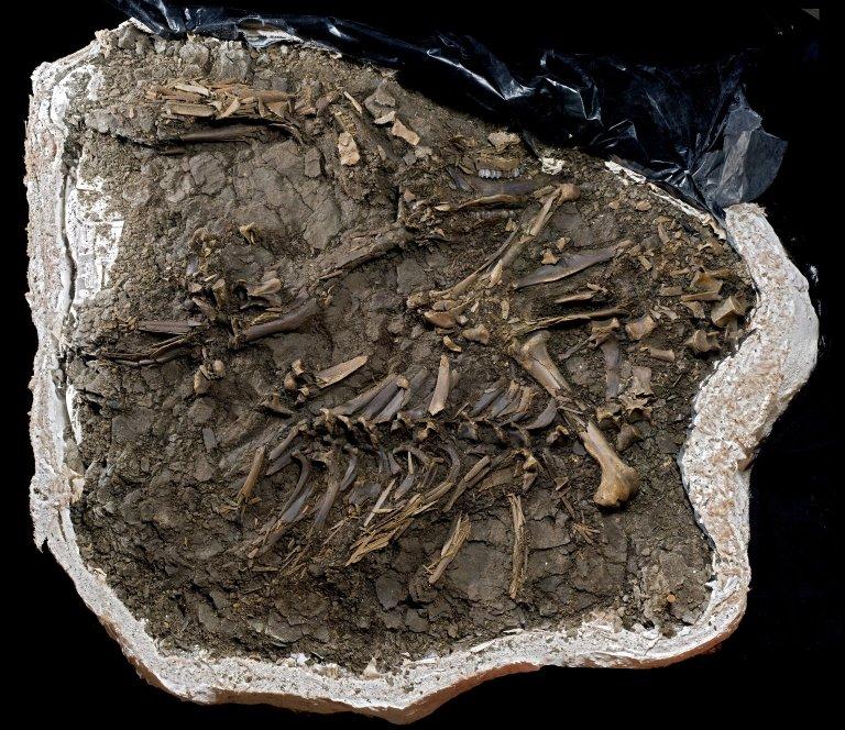 Fossil Deer, Cervidae sp.