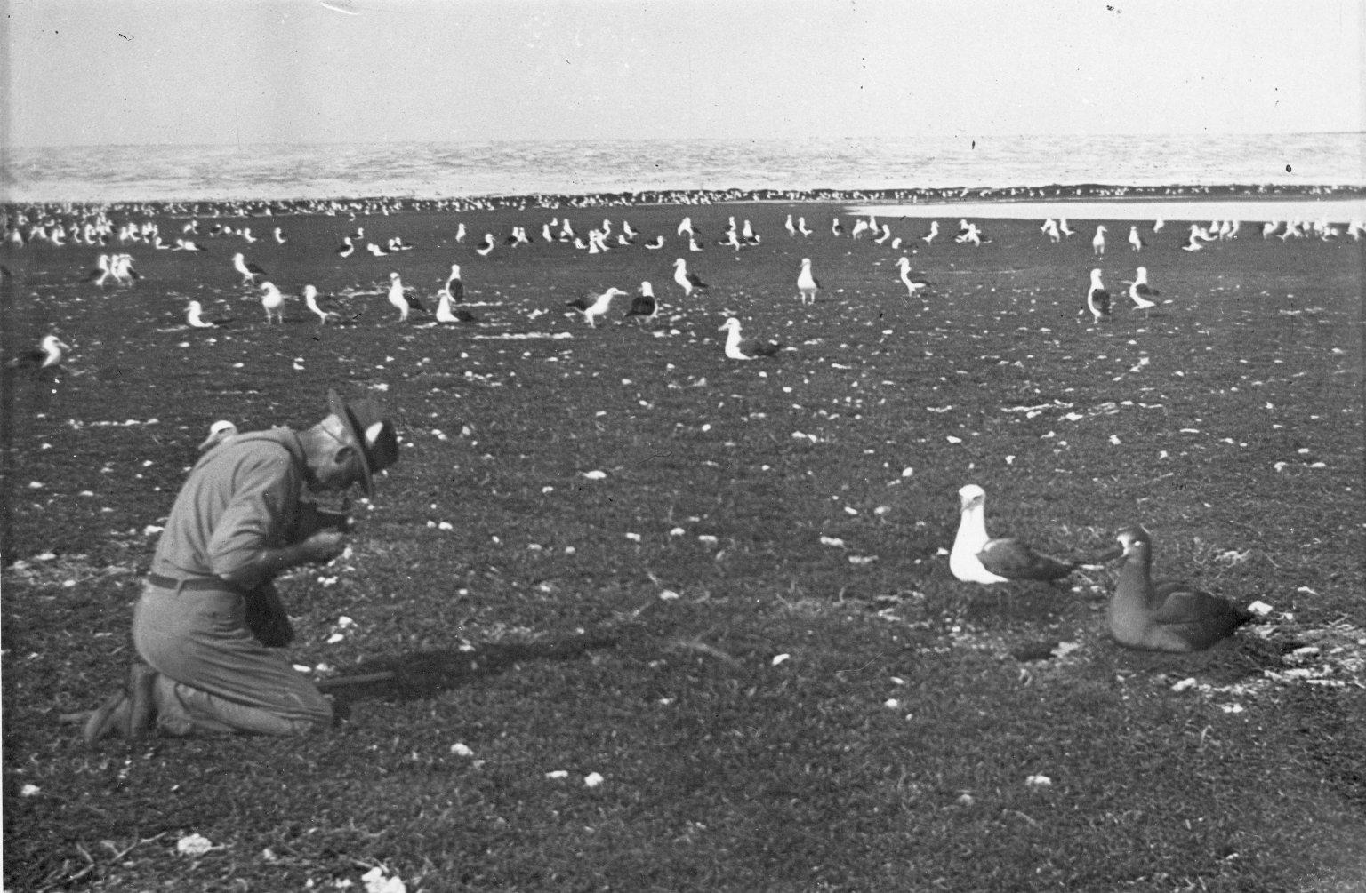 Laysan & Black-footed Albatross