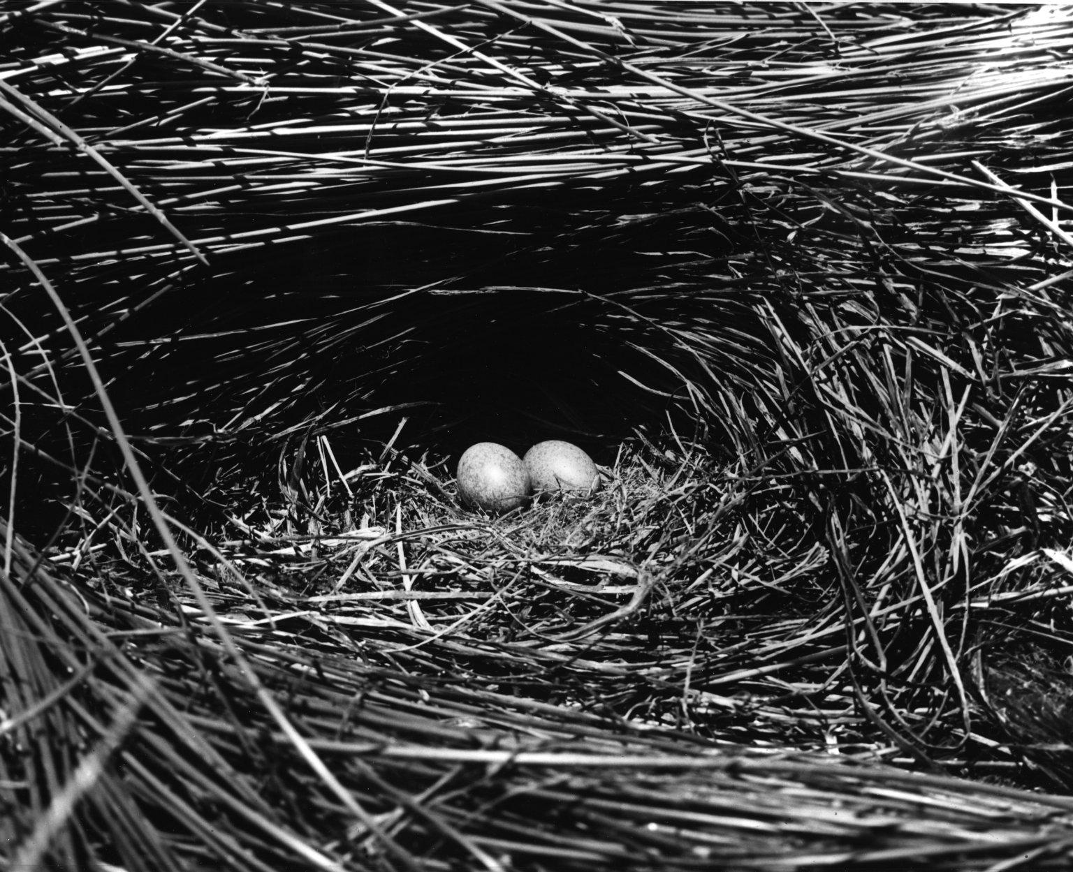 Laysan Rail nest & eggs