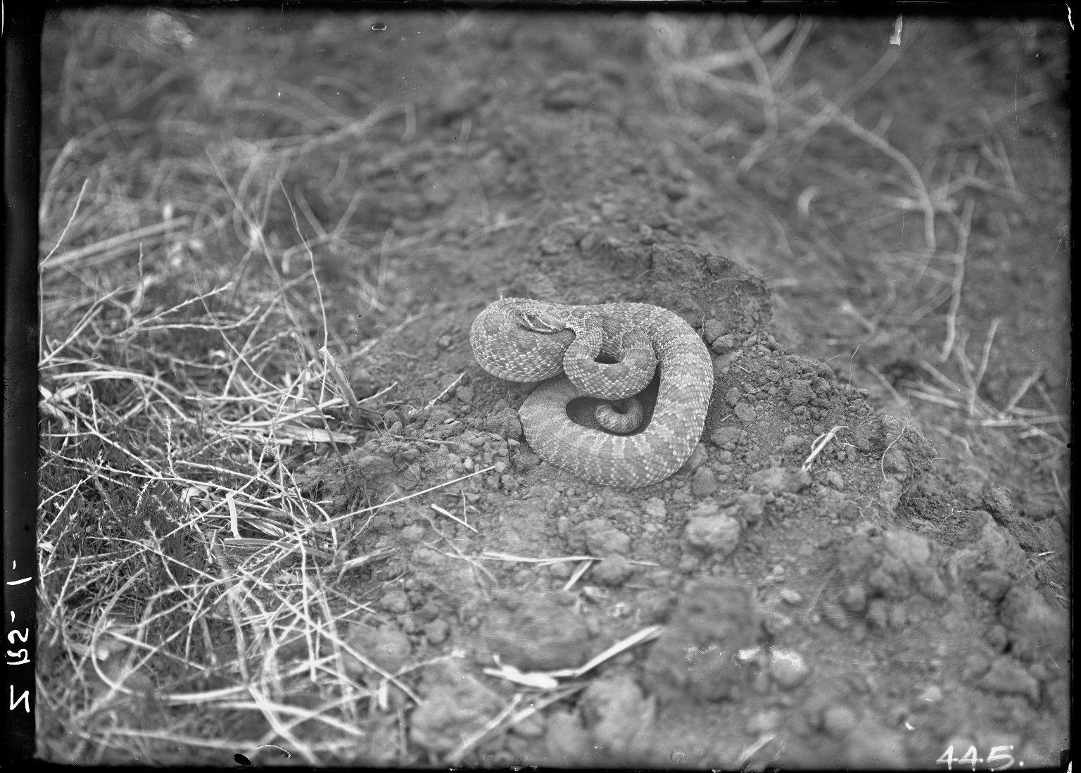 Rattlesnake near Dry Willow Creek
