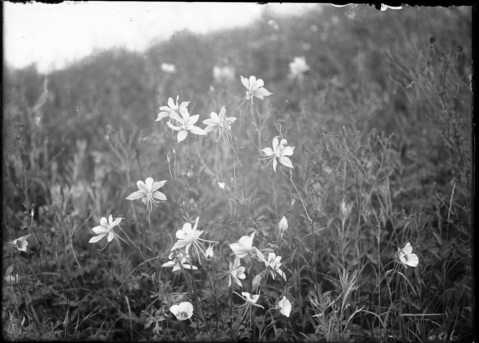 Blue Columbines & Mariposa Lillies