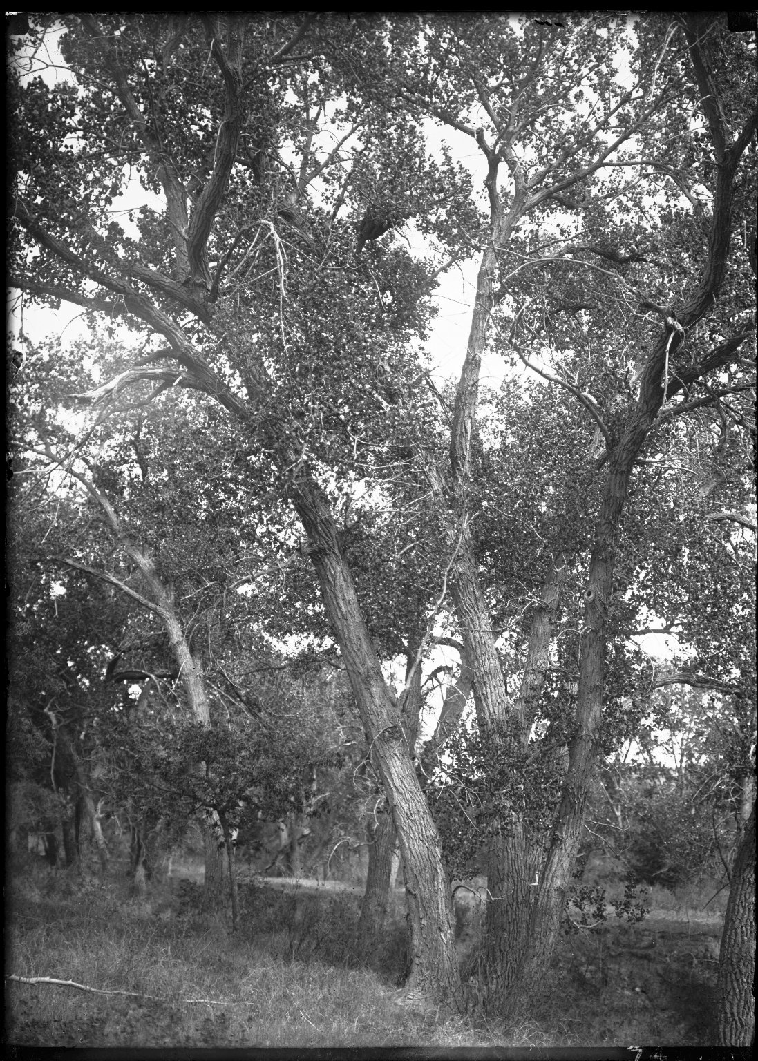 Cottonwoods at Dry Willow Creek