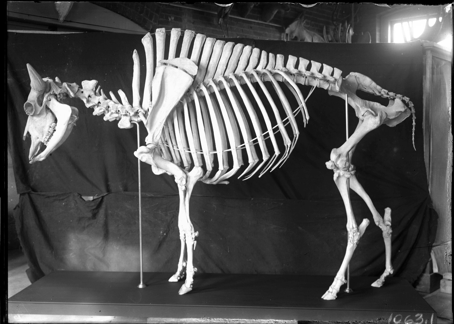 Articulated Bison Anitquus skeleton