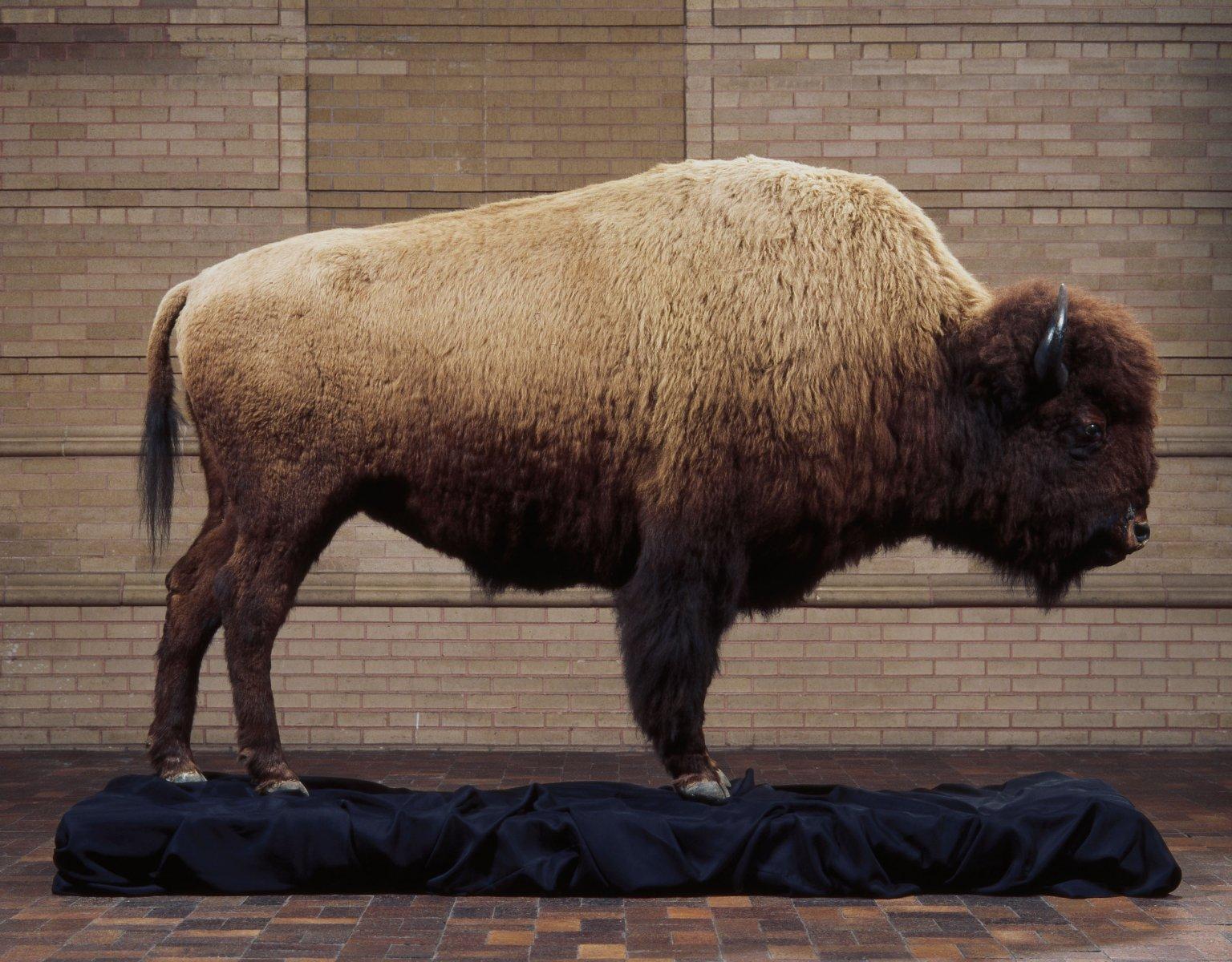 Bison bison haningtoni