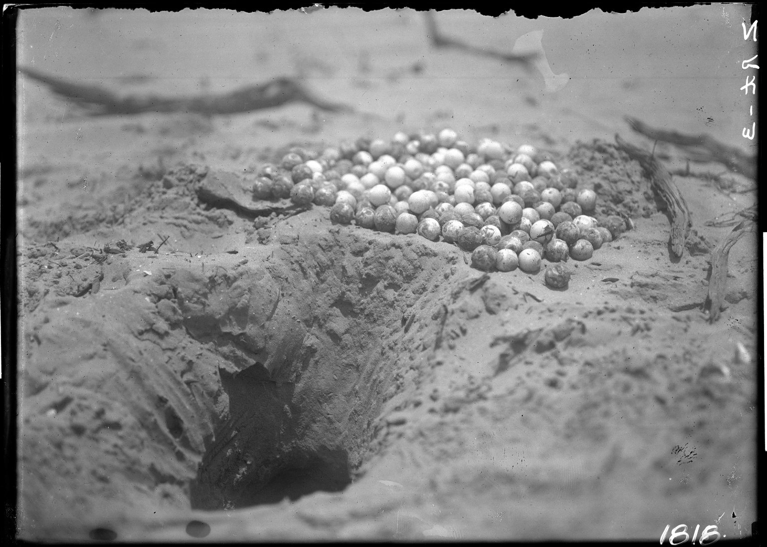 Turtle eggs & cavity where deposited