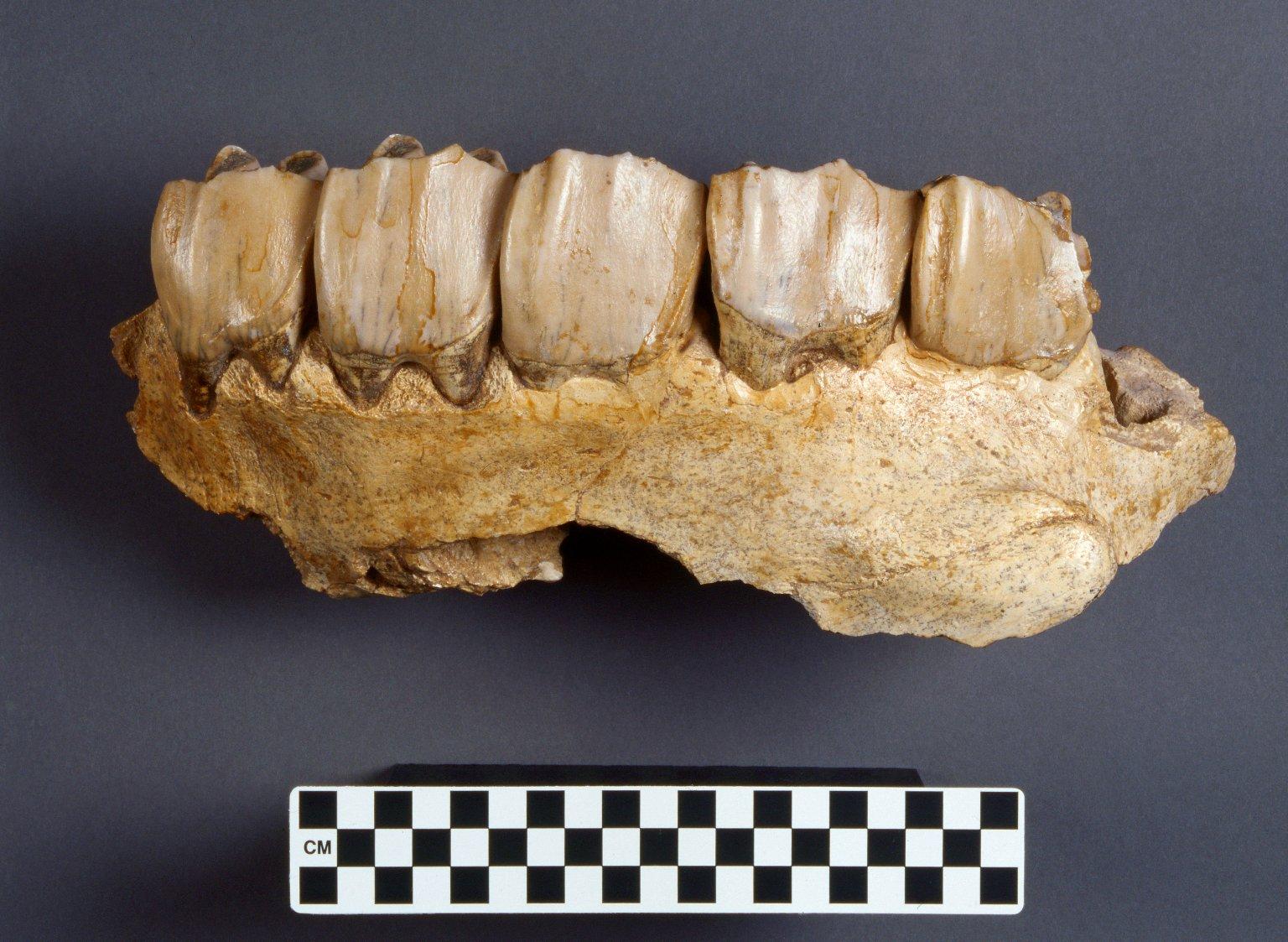 Aphelops malachorhinus longinaris, maxilla