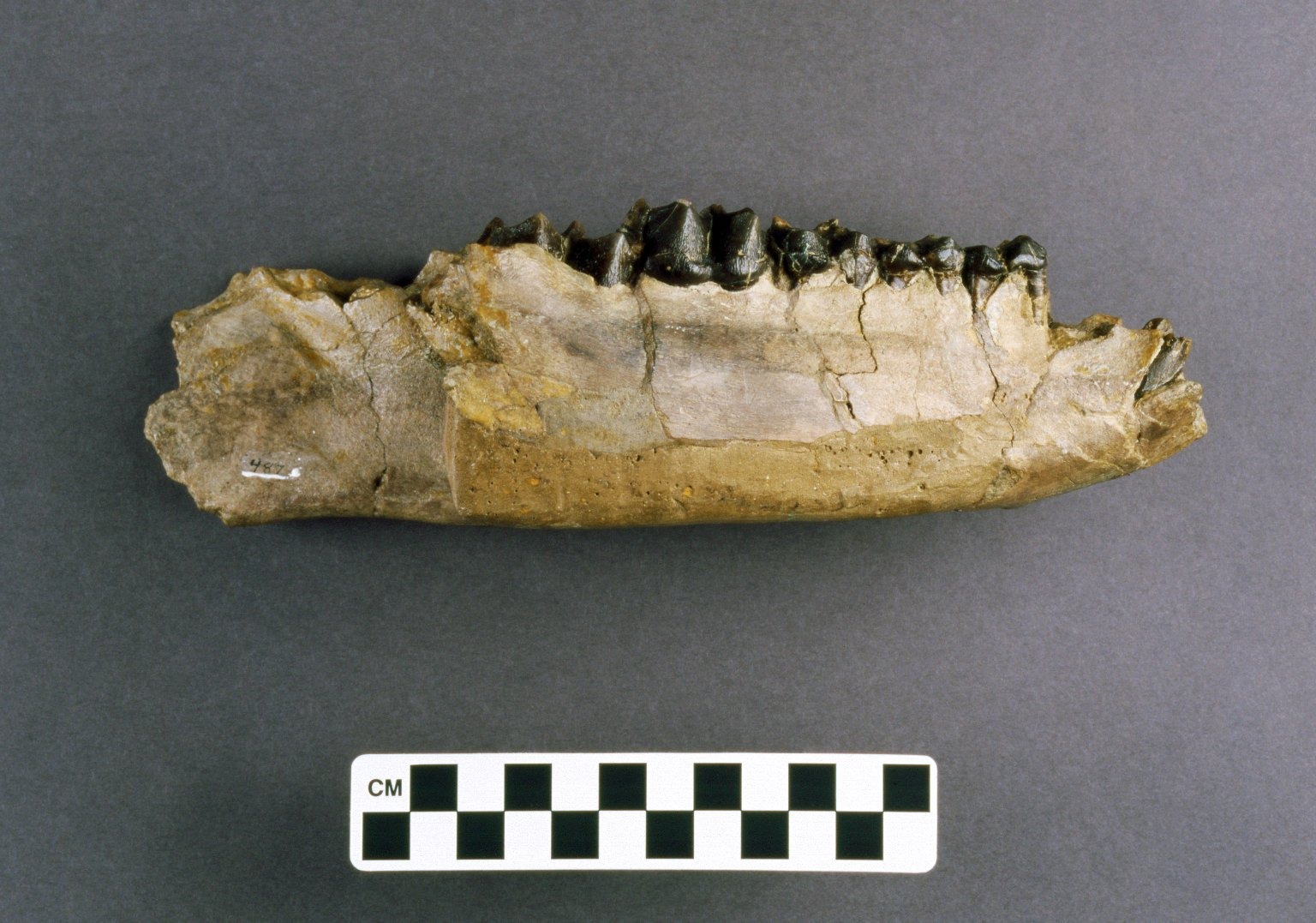 Monteoceras foris mandible