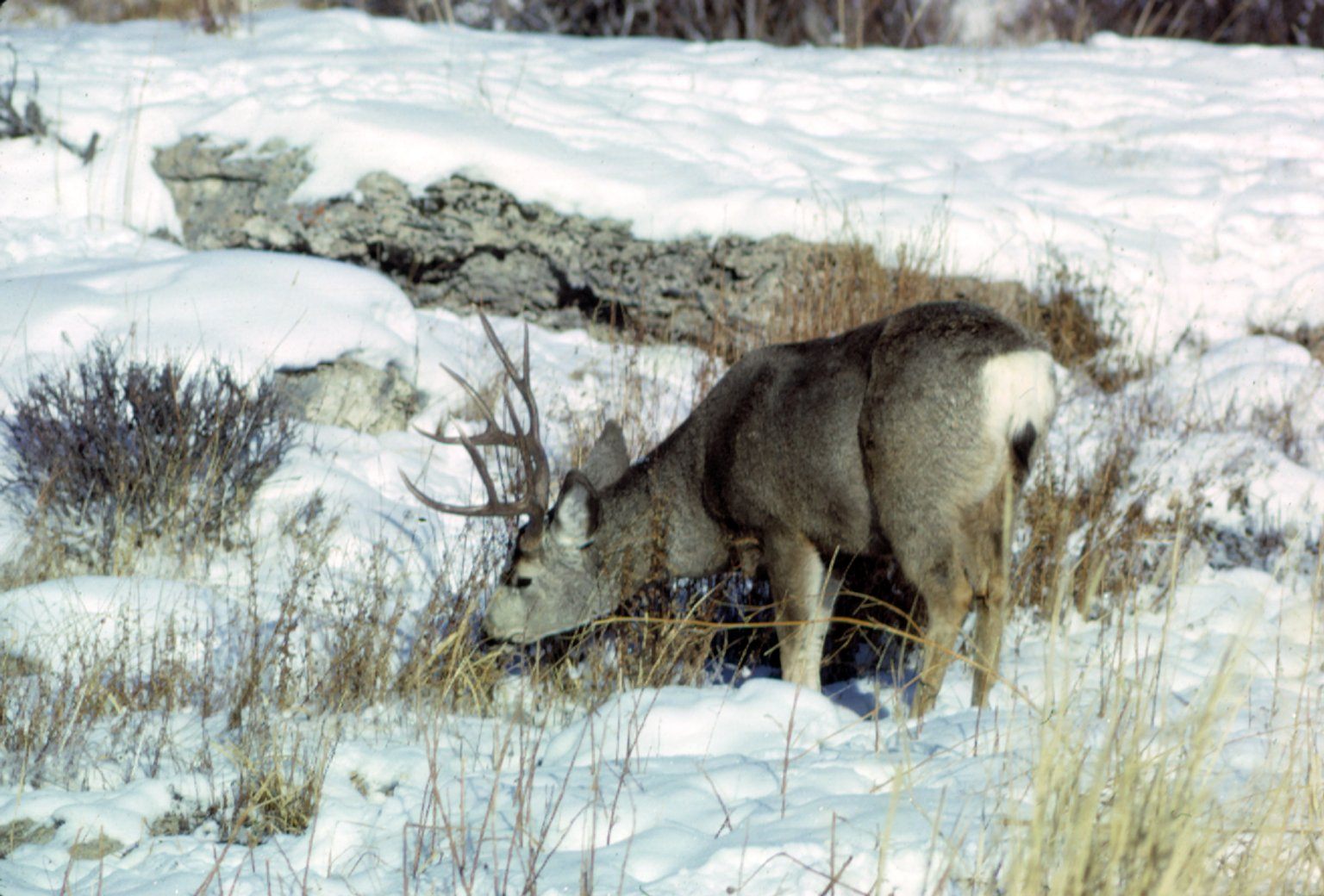 Mule Deer in winter