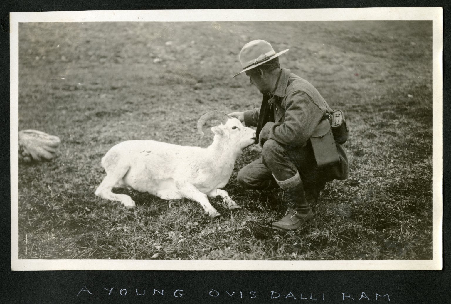 A Young Ovis Dalli Ram