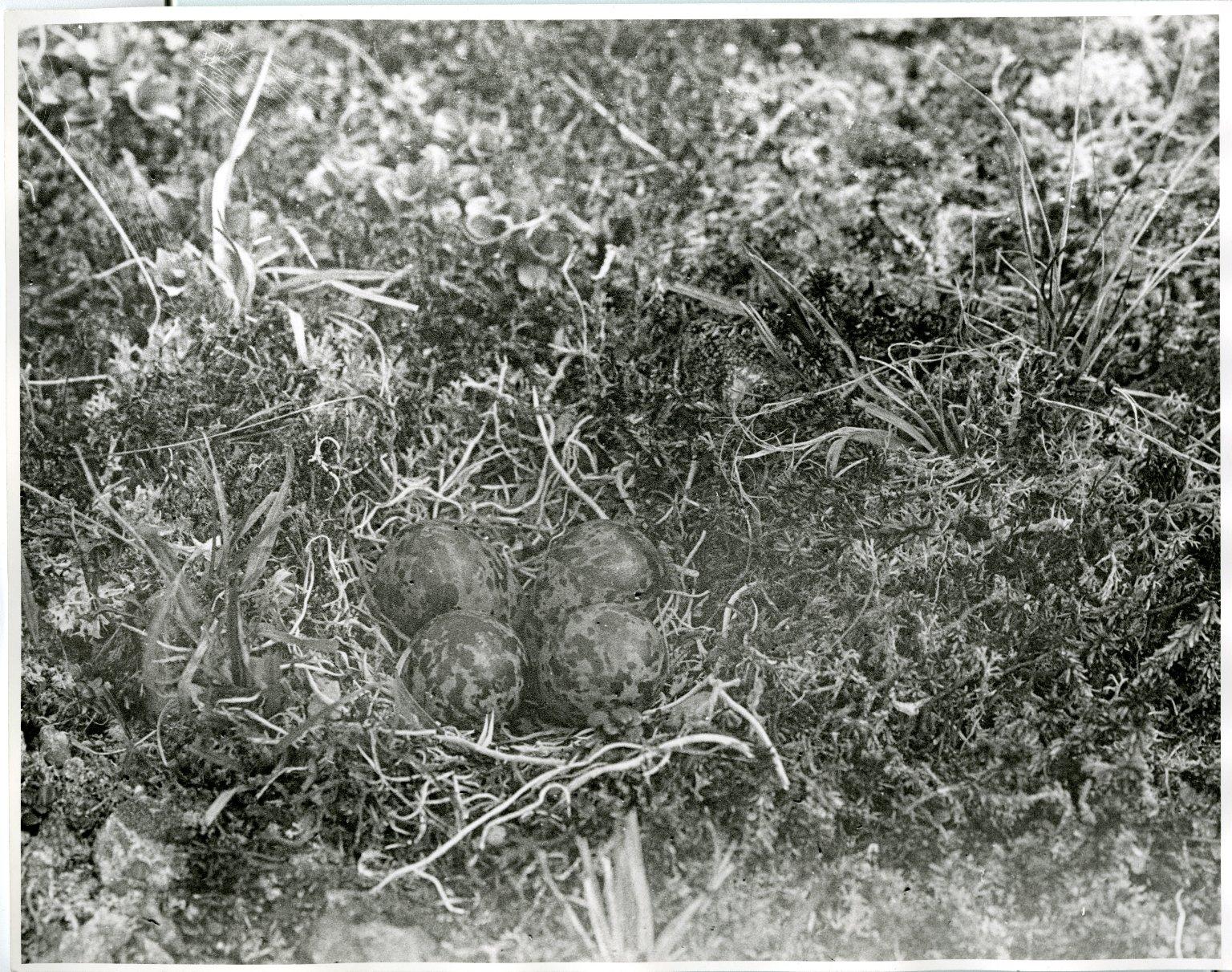 Aleutian Sandpiper nest and eggs