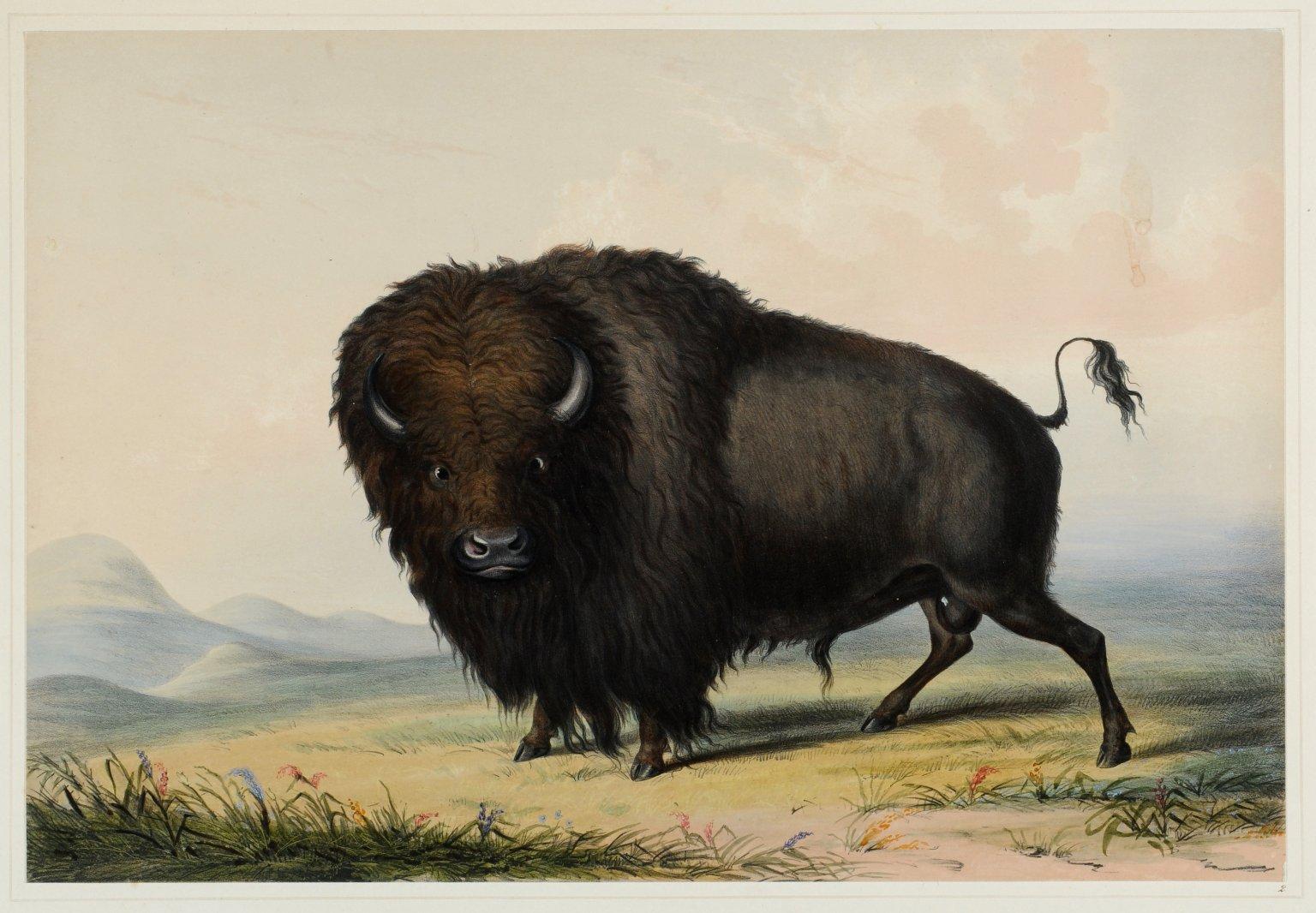 The American Buffalo.