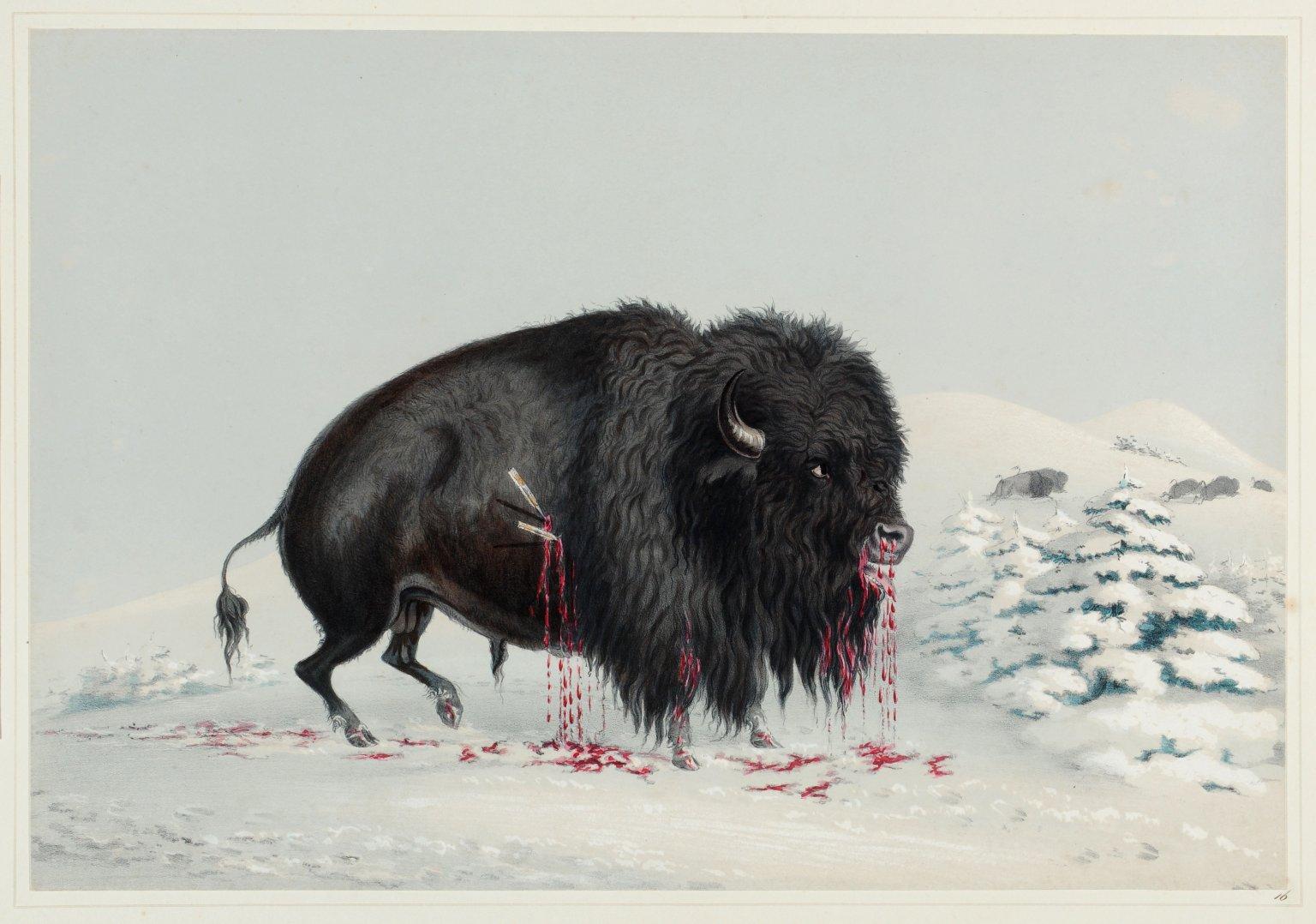Wounded Buffalo Bull.