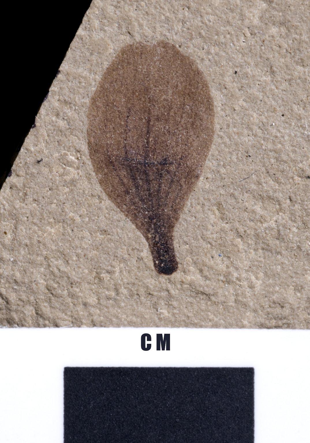 Parvileguminophyllum coloradensis