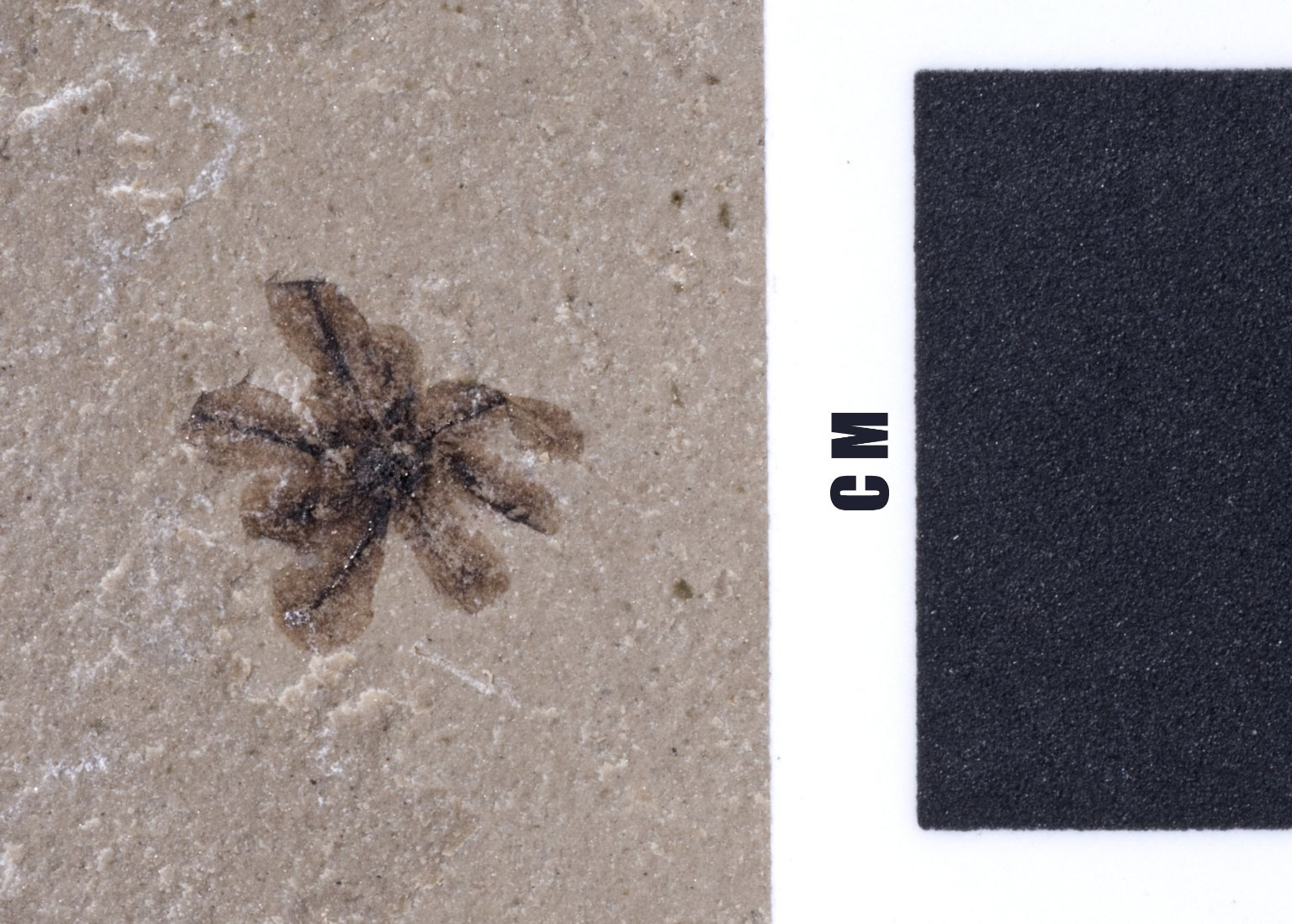 Fossil flower, PC133