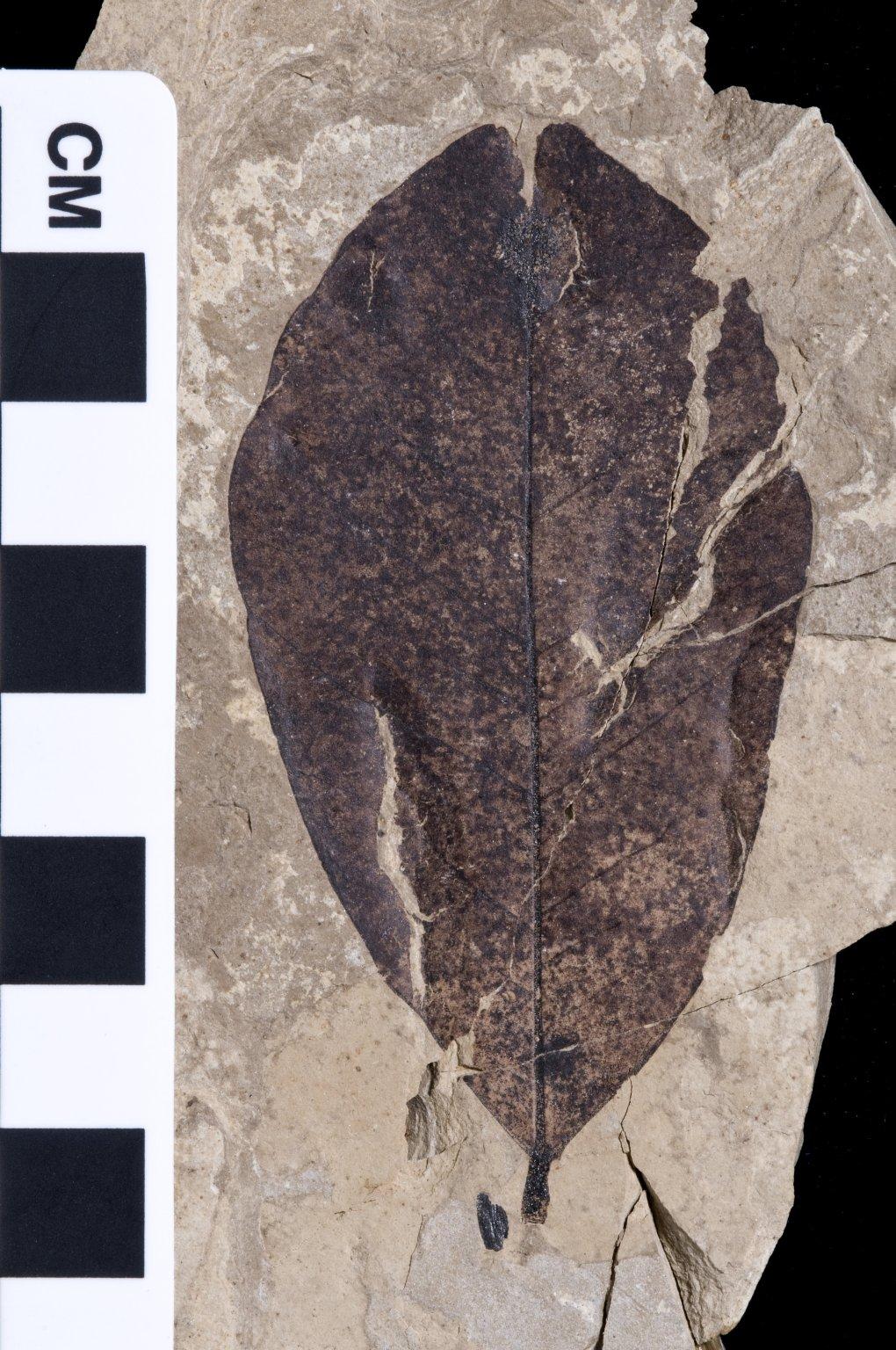 PC145 - leaf