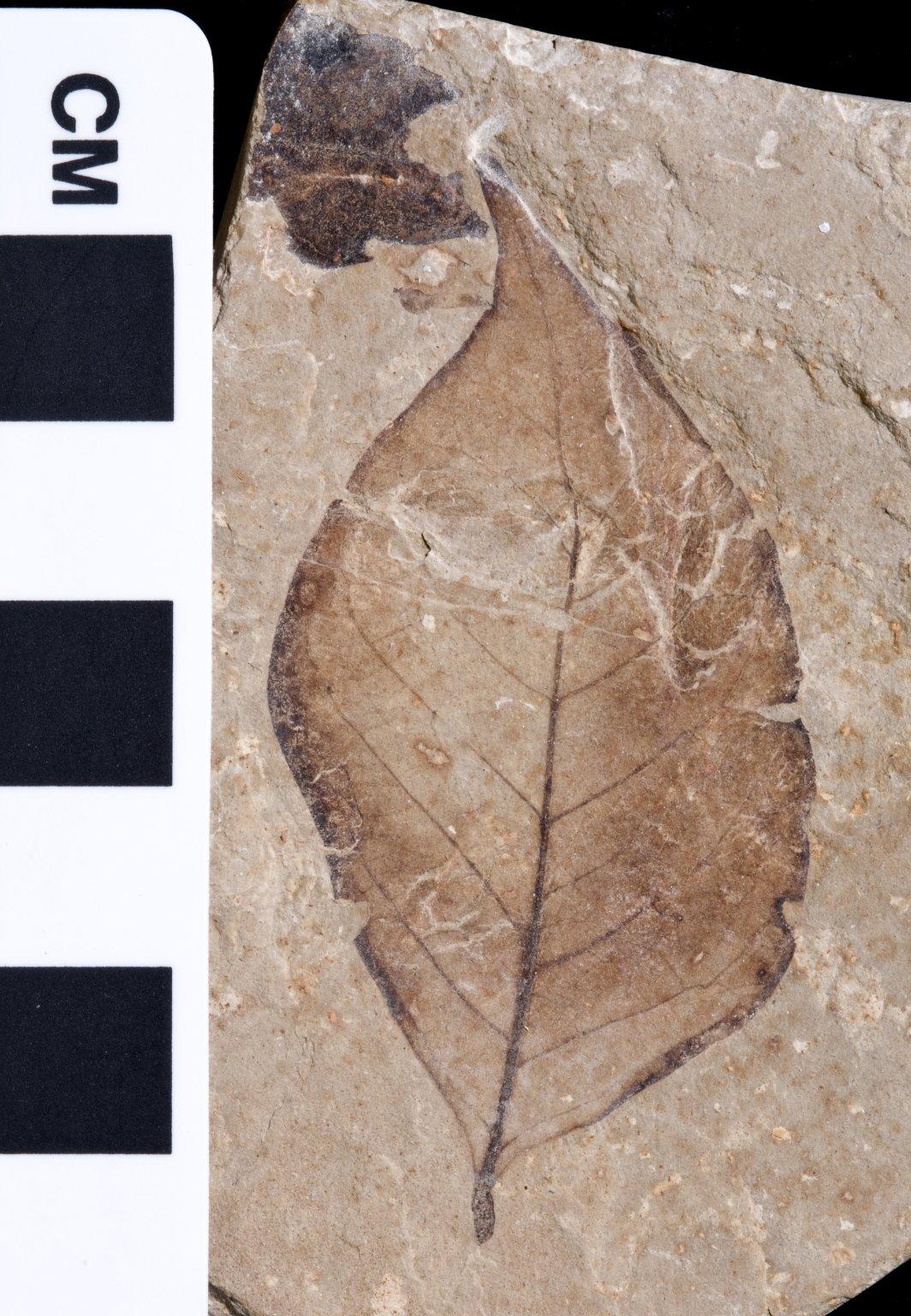 PC092 - leaf
