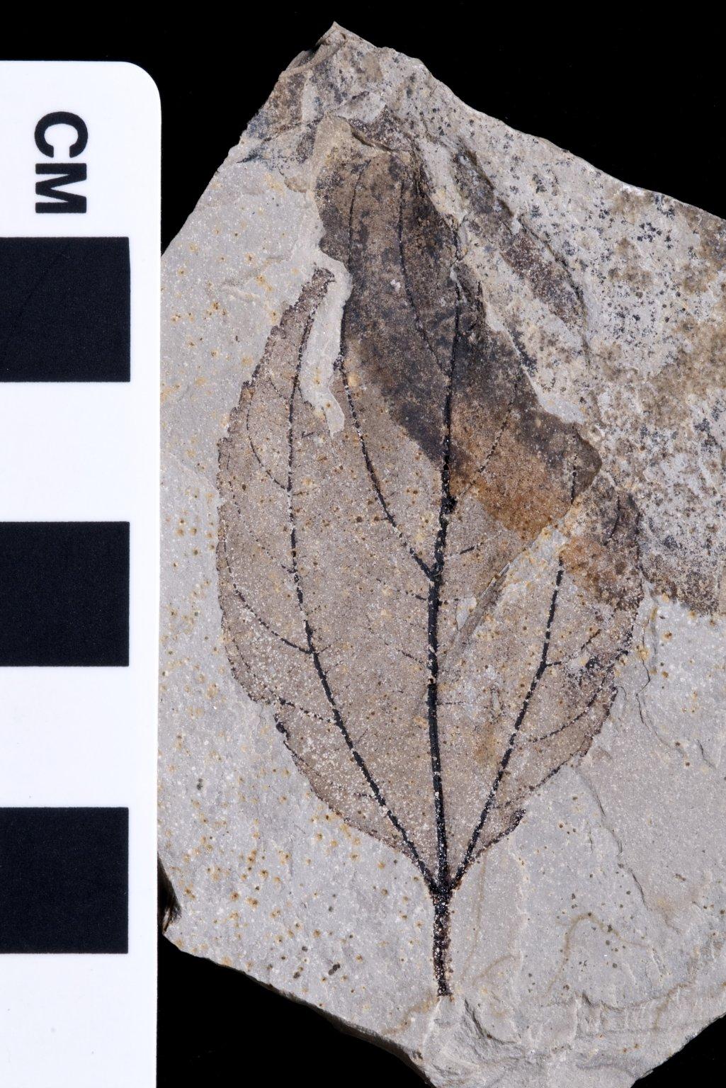 PC073 - leaf