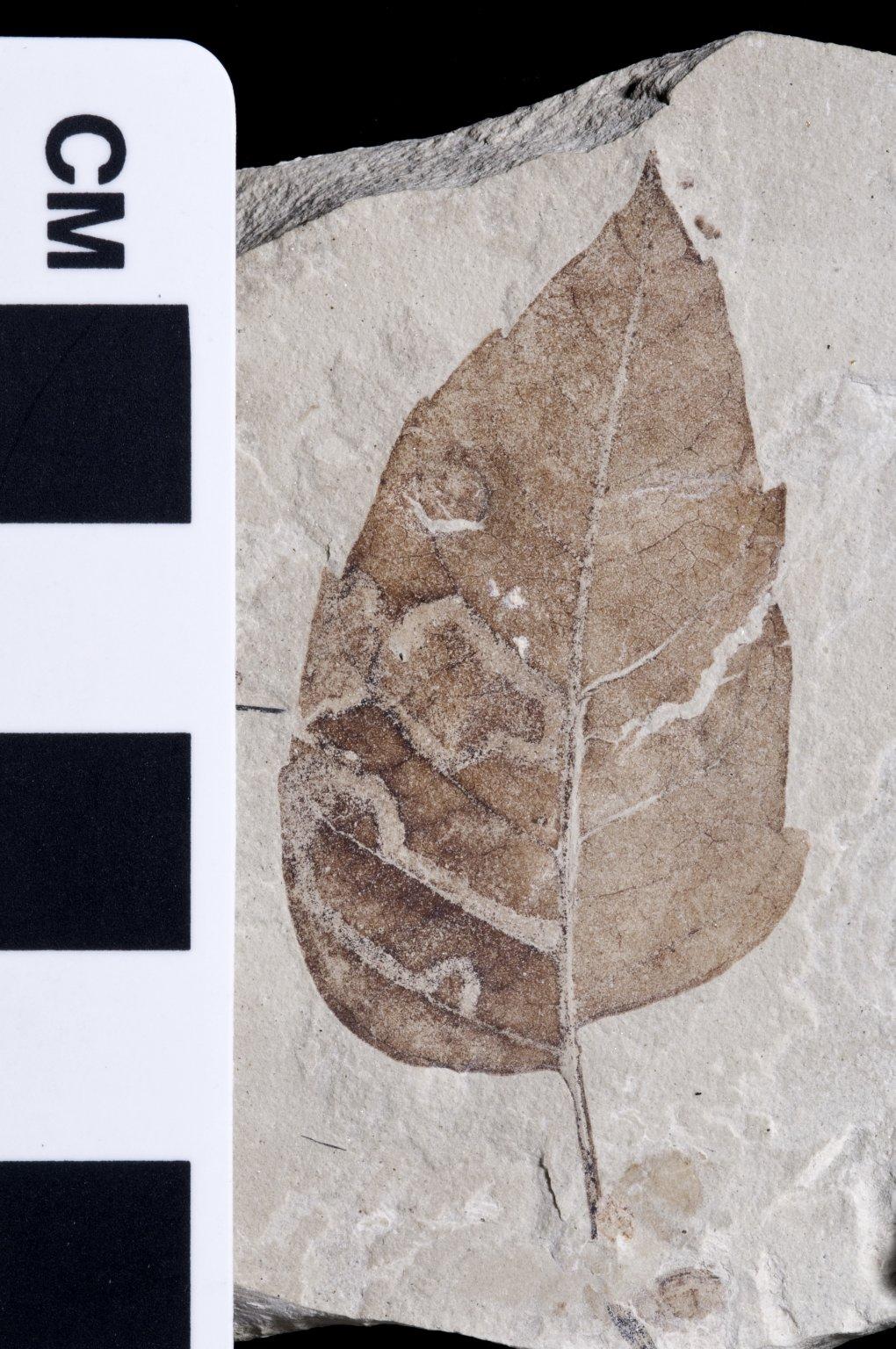 PC200 - leaf