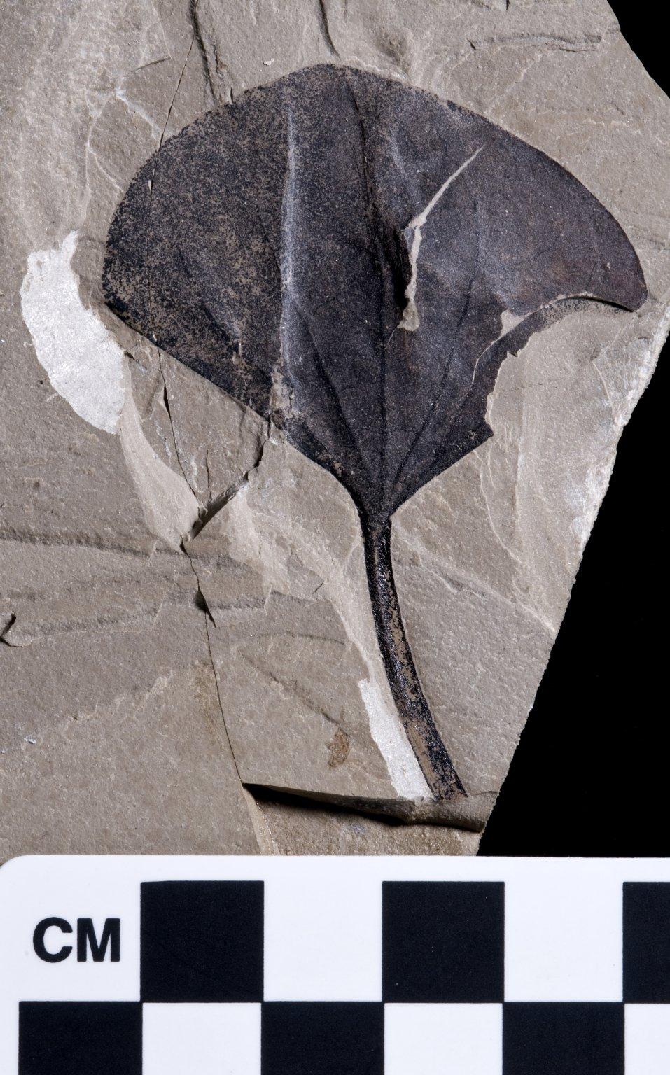 PC209 - leaf