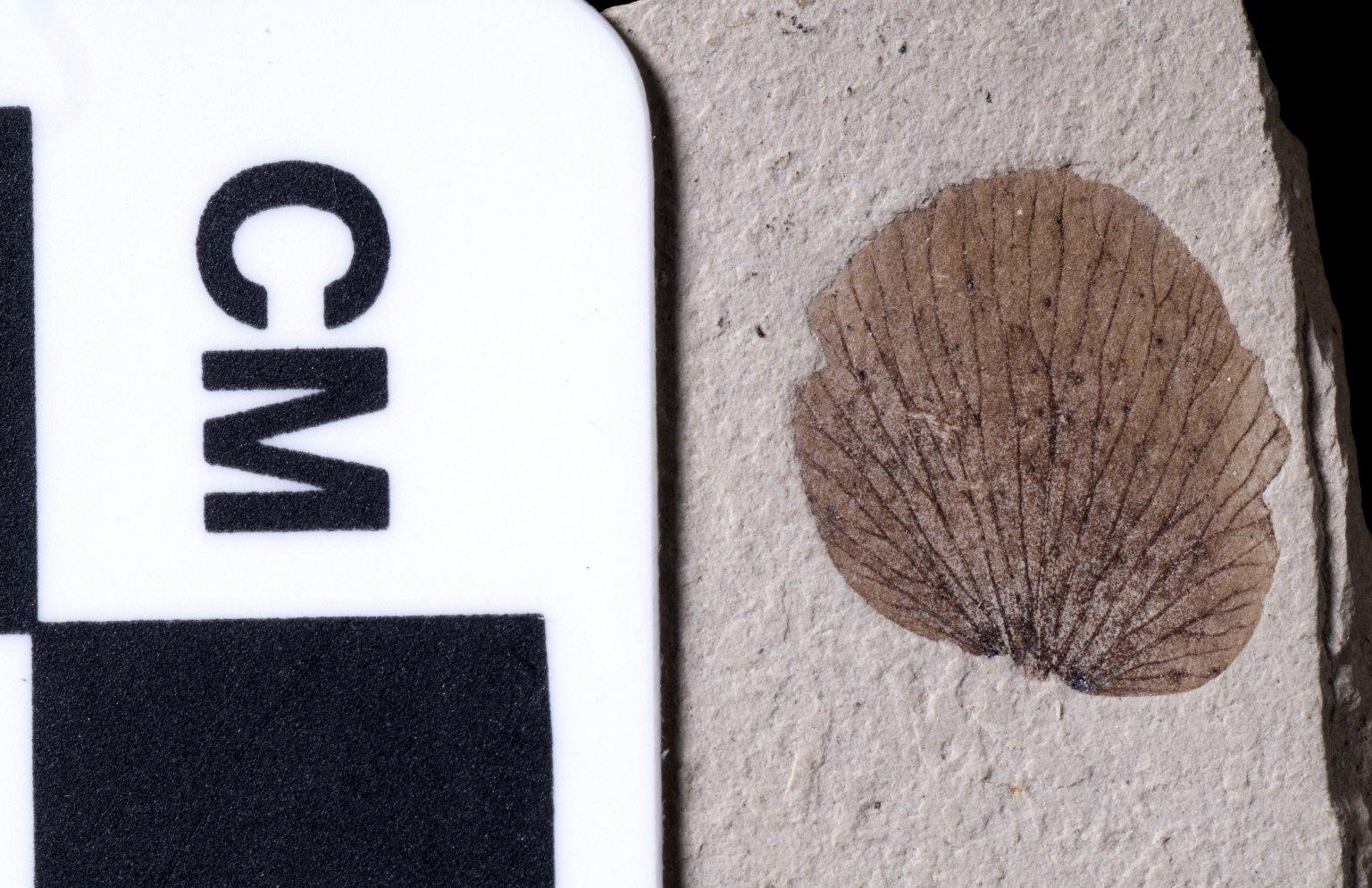 PC211 - leaf