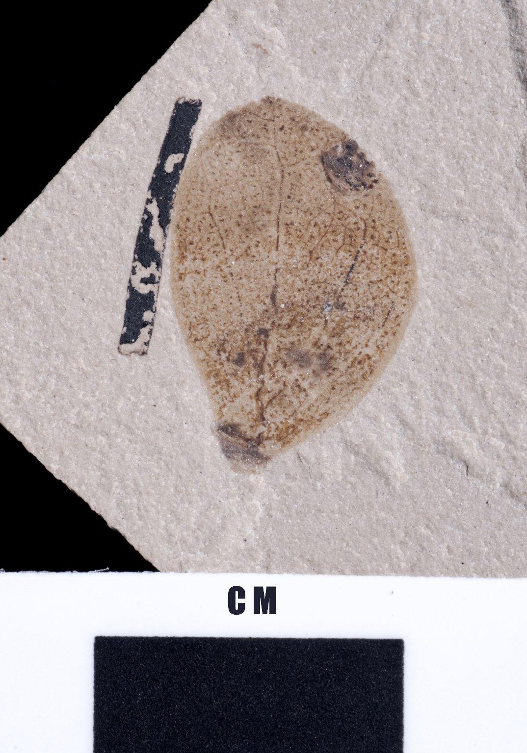 PC212 - leaf