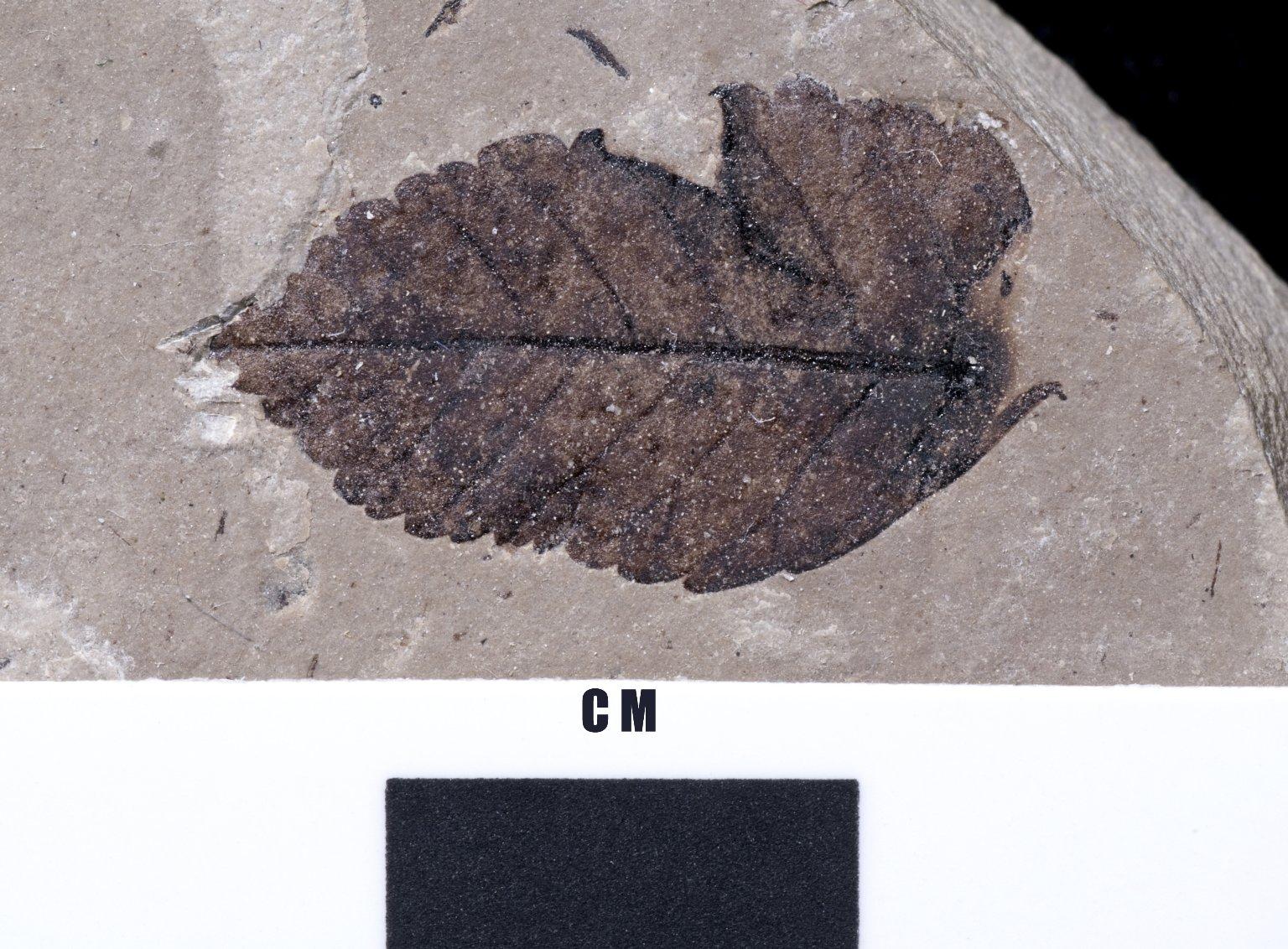 PC229 - leaf